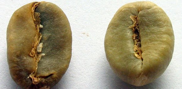 kopi arabika dan robusta